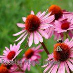 Equinacea refuerza el sistema immunitario y tus defensas